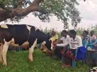 "Eastern Province Auctions 831 Cattle Found ""Illegally"" Grazing On RDF Land"