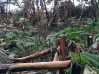 Huye District Bans Bananas Grown in Homes Around its Urban Center