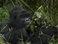 Conservation Must Be Primary Goal Of Great Ape Tourism, Despite COVID-Driven Recessions