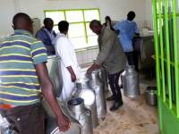 Cattle Keepers in Gicumbi District Pouring Away 10,000 Litres of Milk Daily